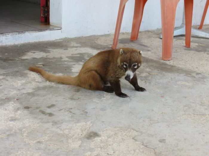 Amy's friend.  Some kind of Mexican raccoon?