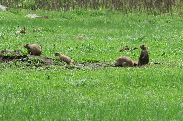 prairie dogs